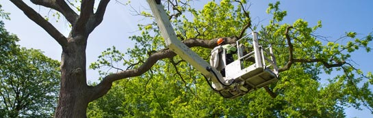 Croydon tree surgery services